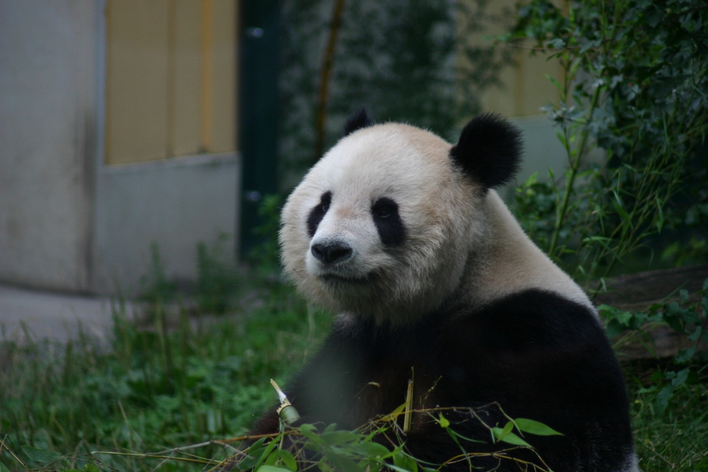 Panda bear at the Schoenbrunn zoo