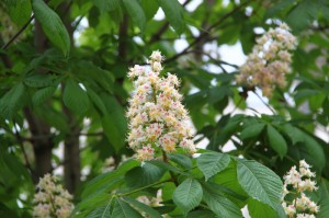chestnut flower - floare castan
