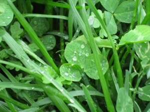 Rain drops on a clover