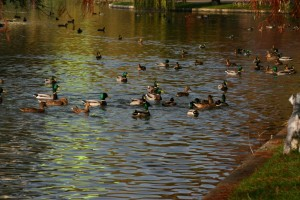 ducks ior park Romania 2