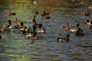 ducks ior park Romania