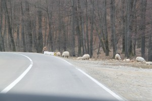 road sheep