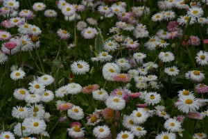 small chrysanthemums 2