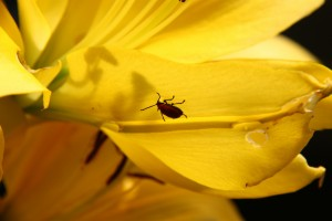 yellow lilly bug