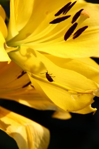 yellow lilly bug 2