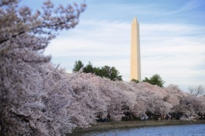 Cherry blossom at Washington Memorial