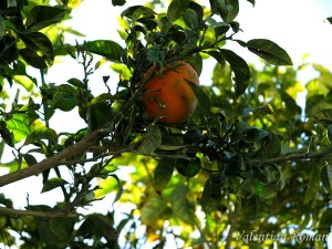 Orange trees in Nabeul, Tunisia - Details