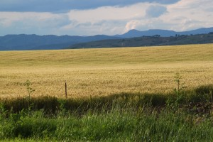 wheat field 2