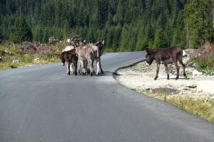 Donkeys crossing the street