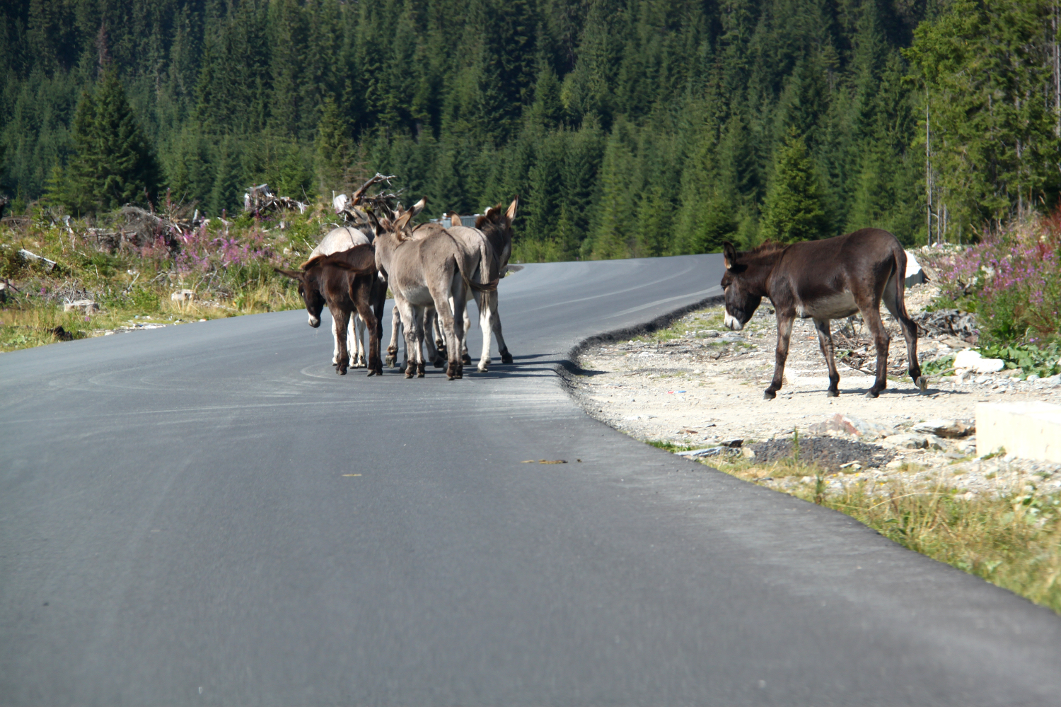 Donkeys crossing the street