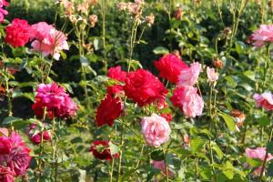 Rose from Brasov, Romania