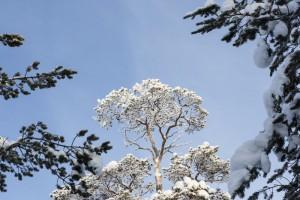 Icy trees in Finland Saariselkae