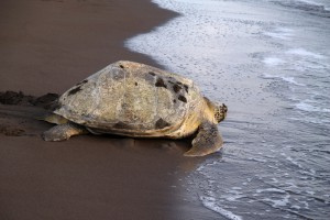 Sea turtle - Tortuguero National Park, Costa Rica