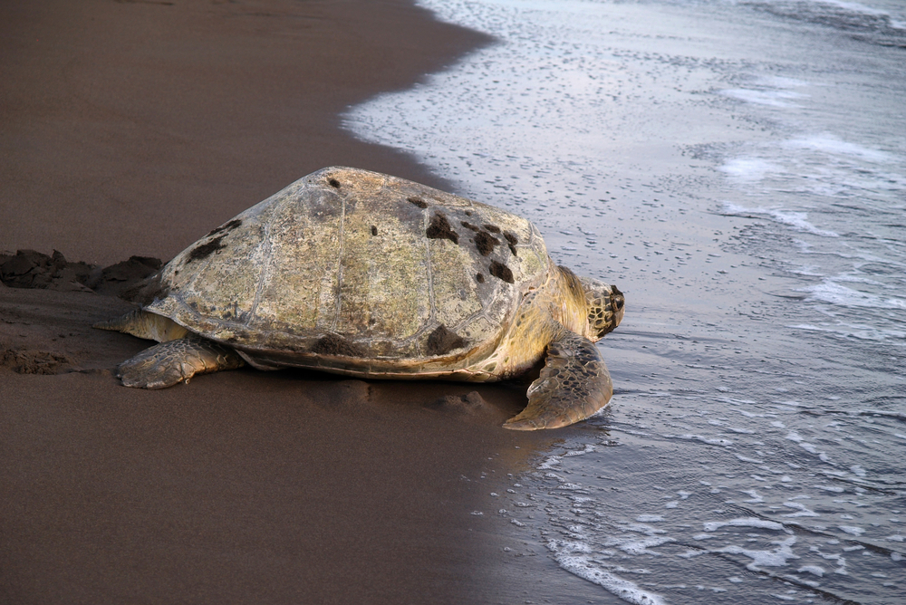 Sea turtle - Tortuguero National Park, Costa Rica
