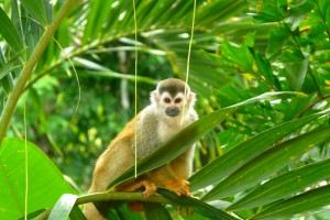 Squirrel Monkey in Manuel Antonio National Park, Costa Rica