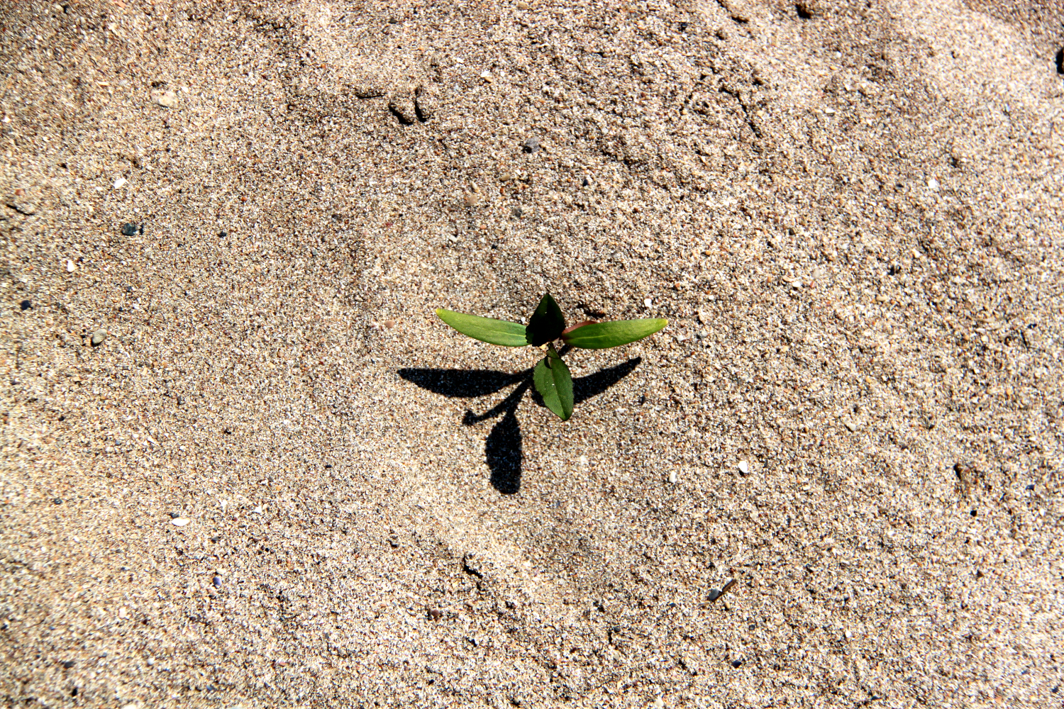 Black Sea, Romania - a plant in the sand