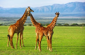 Giraffes group in the Ngorongoro conservation area