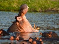 Hippopotamus Yawn, Ruaha National Park