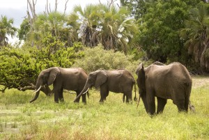 Selous Game Reserve - elephants