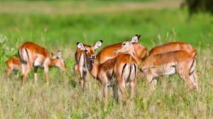 Tarangire National Park - impala antelopes