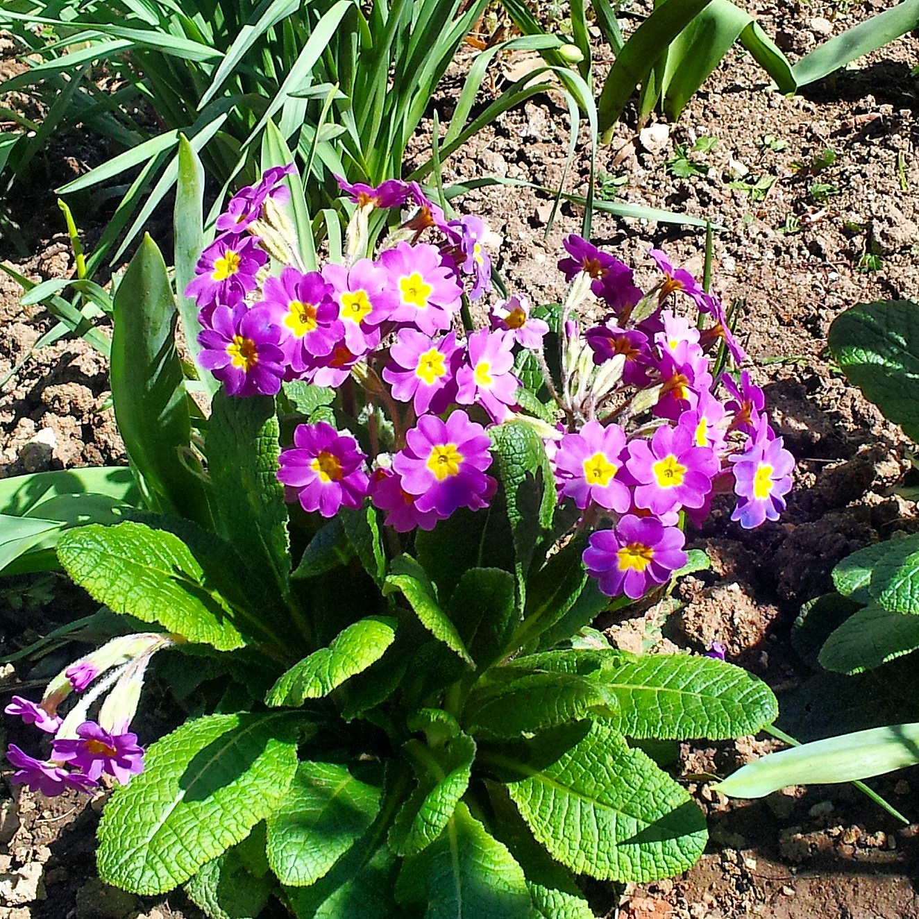 beautiful flowers (primulas)