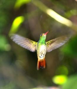 Hummingbird Monteverde Cloud Forest, Costa Rica