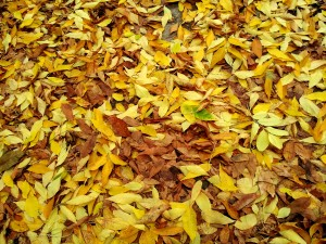Fall colours - yellow leafs