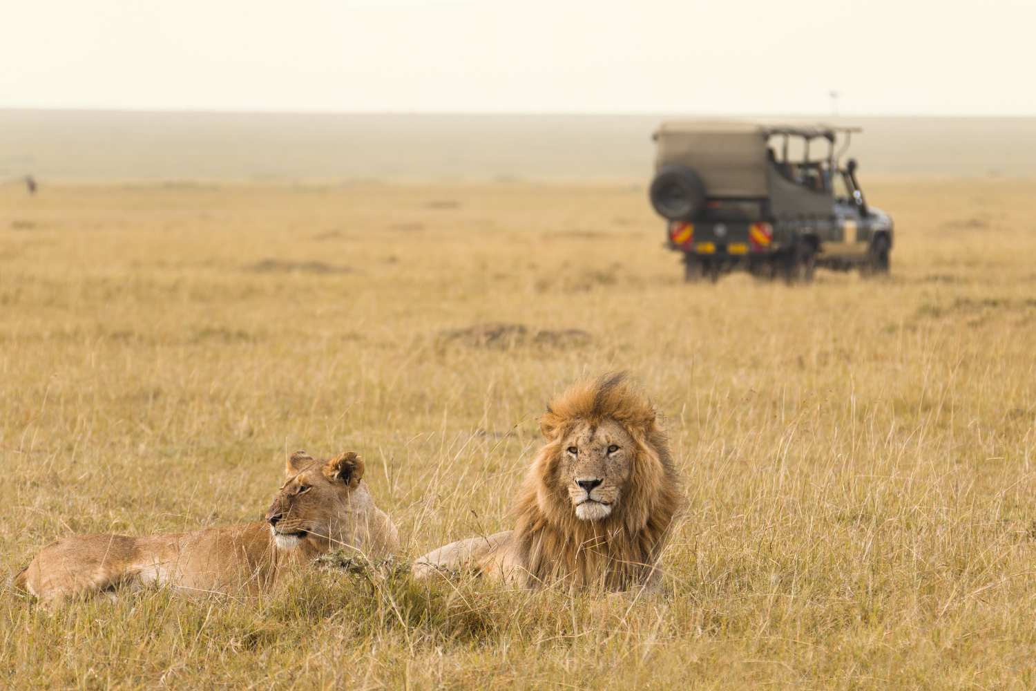Kenya - African lion couple - safari