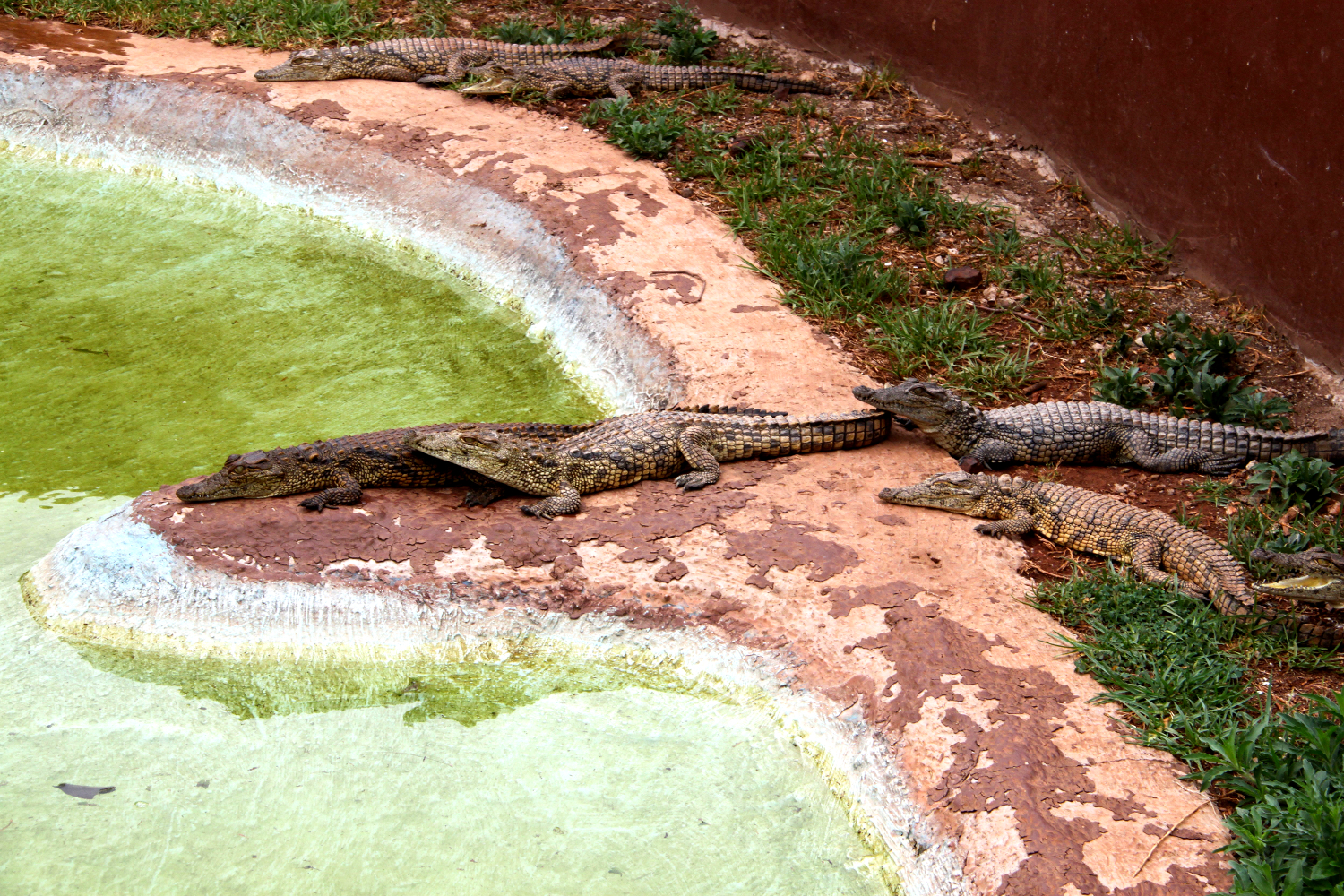 Crocodiles at The Rhino and Lion Nature Reserve in Gauteng, South Africa