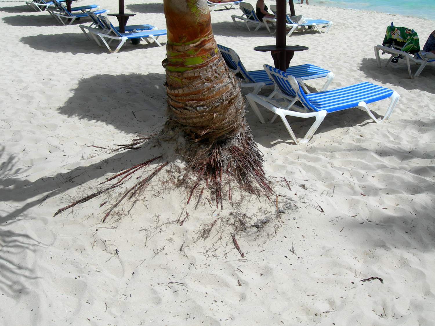 The Dominican Republic - root of a tree in the sandy beach