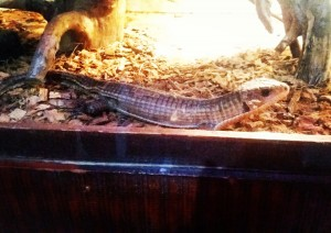 thick scaly lizard