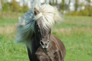 Icelandic #horse #Iceland #travel #Europe