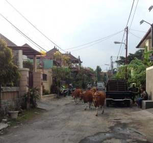 Indonesia - cows