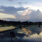 Indonesia - rice fields