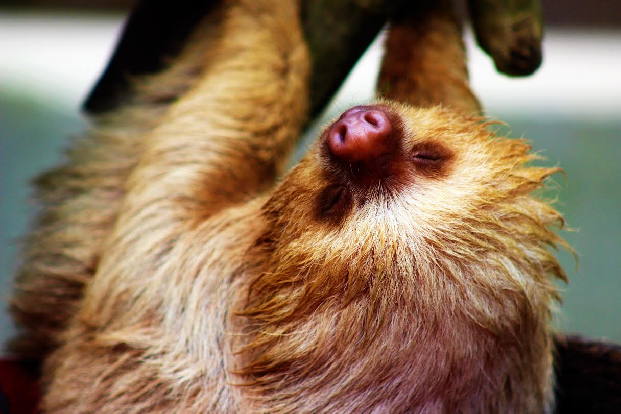 Baby two-toed sloth - Costa Rica - Curious things about Costa Rica