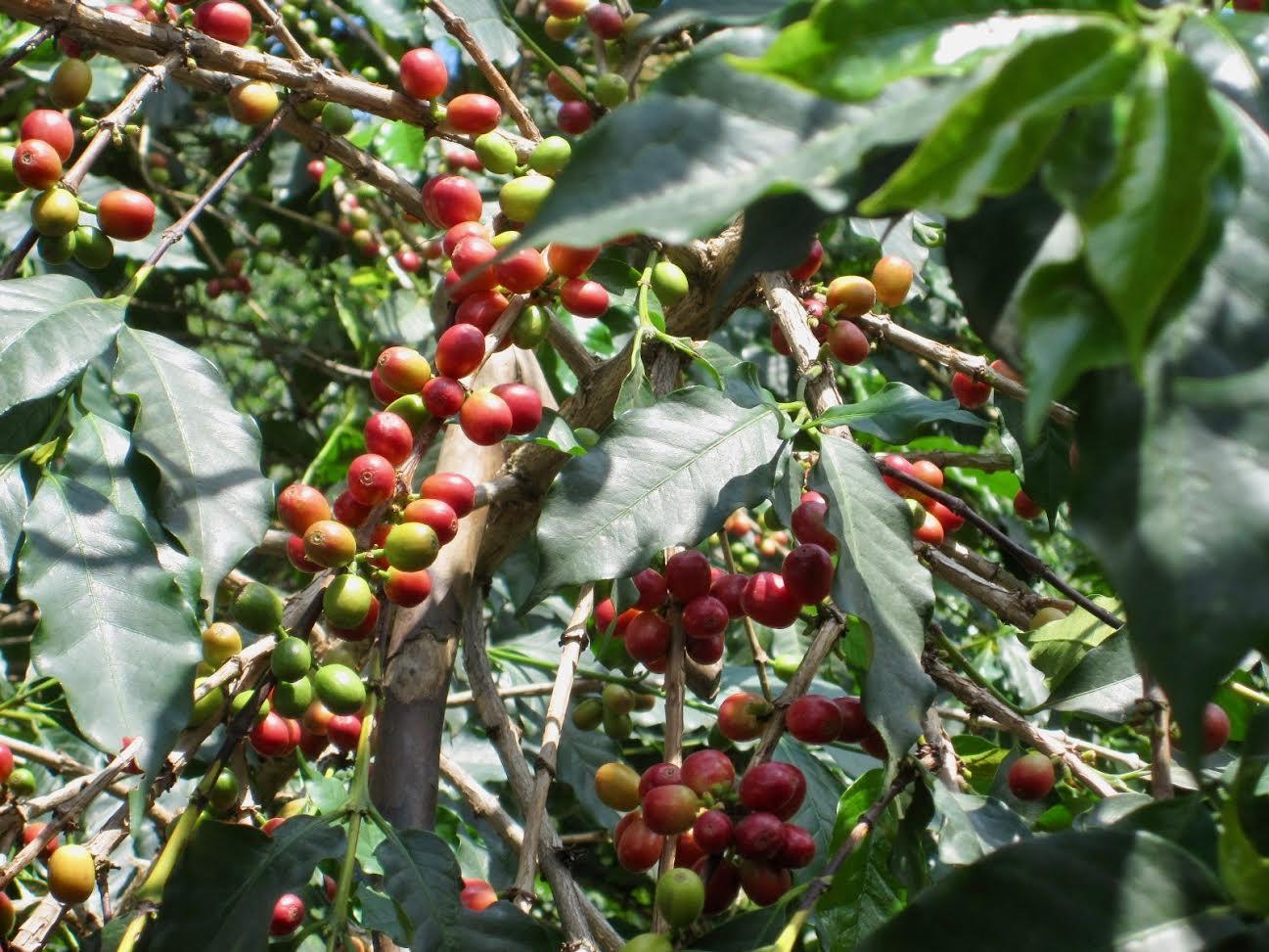 Rwanda - coffee beans - 5 Curious Things about Rwanda