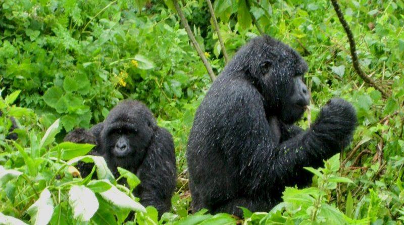 Rwanda gorillas - 5 Curious Things about Rwanda