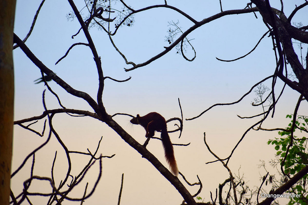 Giant Malabar Squirrel, India. Discover Indian currency, what to eat in India, where to go in India, what to see in India, and more from an insider. #india #indiatips #asia #asiatravel
