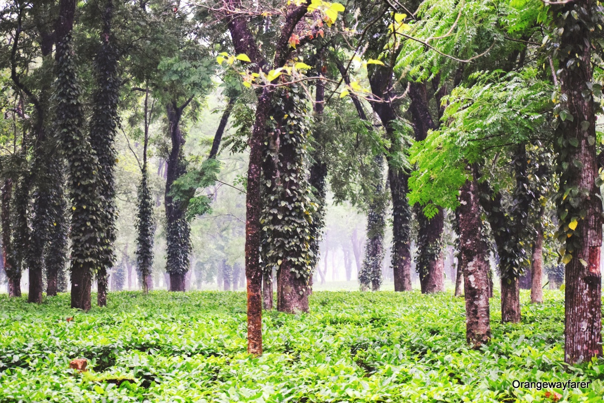 Rea garden of Himalayan foothills. Discover everything you need to know about traveling to India from a local. She shares tips regarding Indian culture, Indian religion, Indian food, Indian places to see, Indian attractions, and more.  #india #indiatips #asia #asiatravel