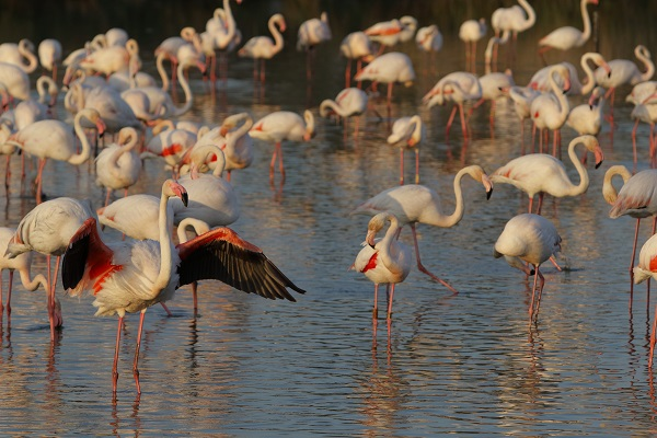 A Greater Flamingo stretches its wings in the marshes of the Camargue, France. Camargue, France is one of the best UNESCO heritage sites in Europe. Read the article to discover more natural sites in Europe, and a list of world heritage in Europe to add to your bucket list. #UNESCO #unescosites #unescositeseurope #europeunesco #franceunesco #france
