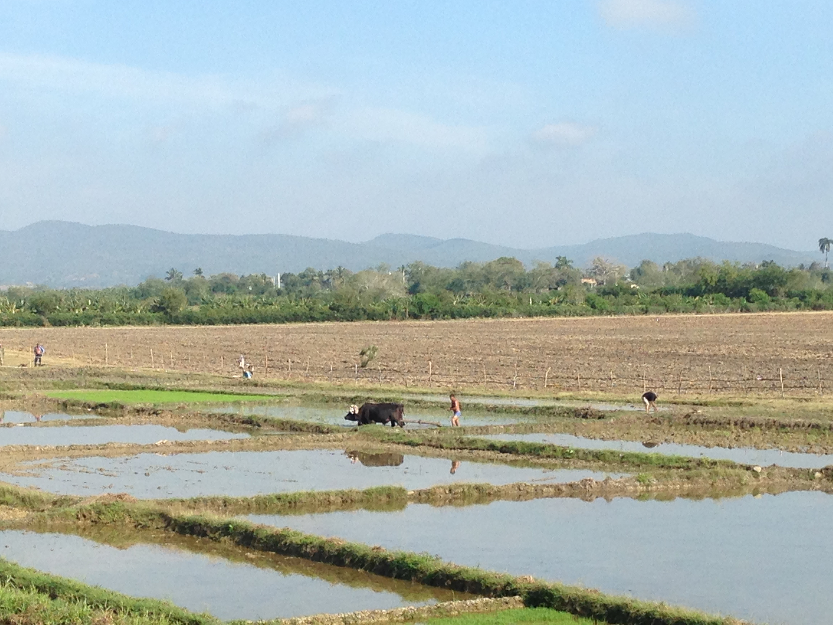 Rice field in Cuba. The best things to see in Cuba - discover the top tourist attractions in Eastern Cuba