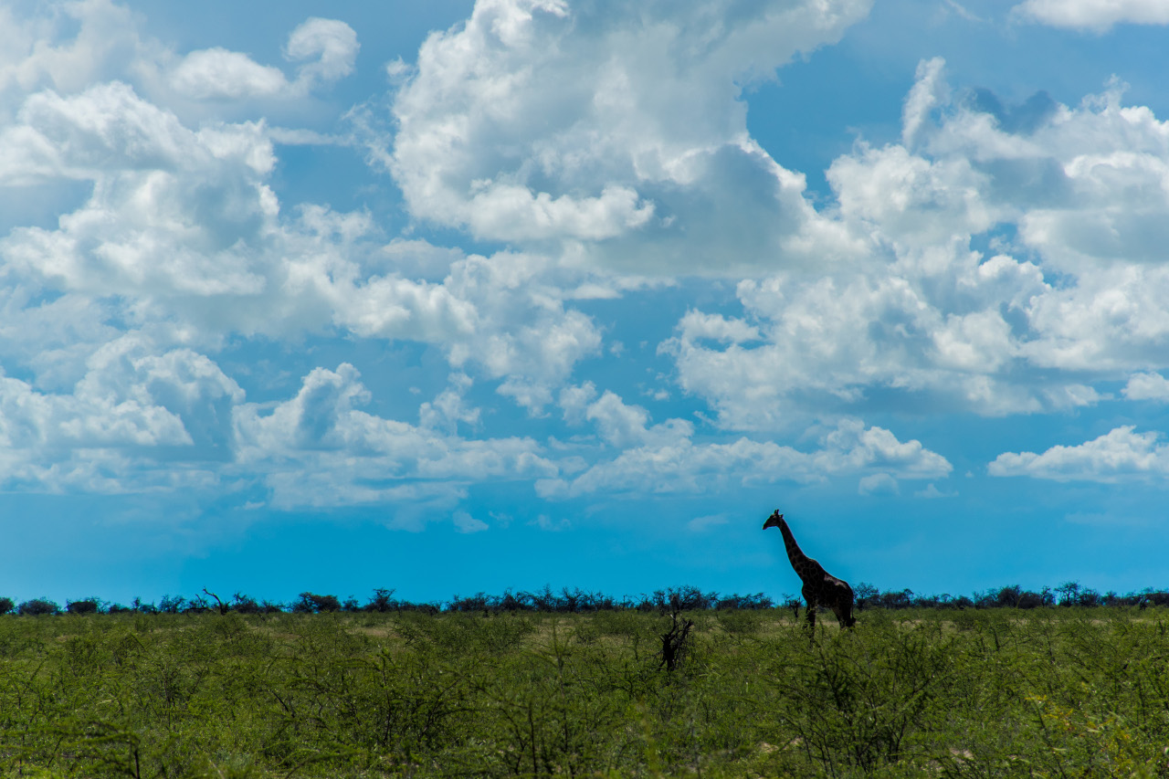Giraffe in Etosha National Park, Namibia. Here are the best places to visit in Namibia - your ultimate bucket list for Namibia