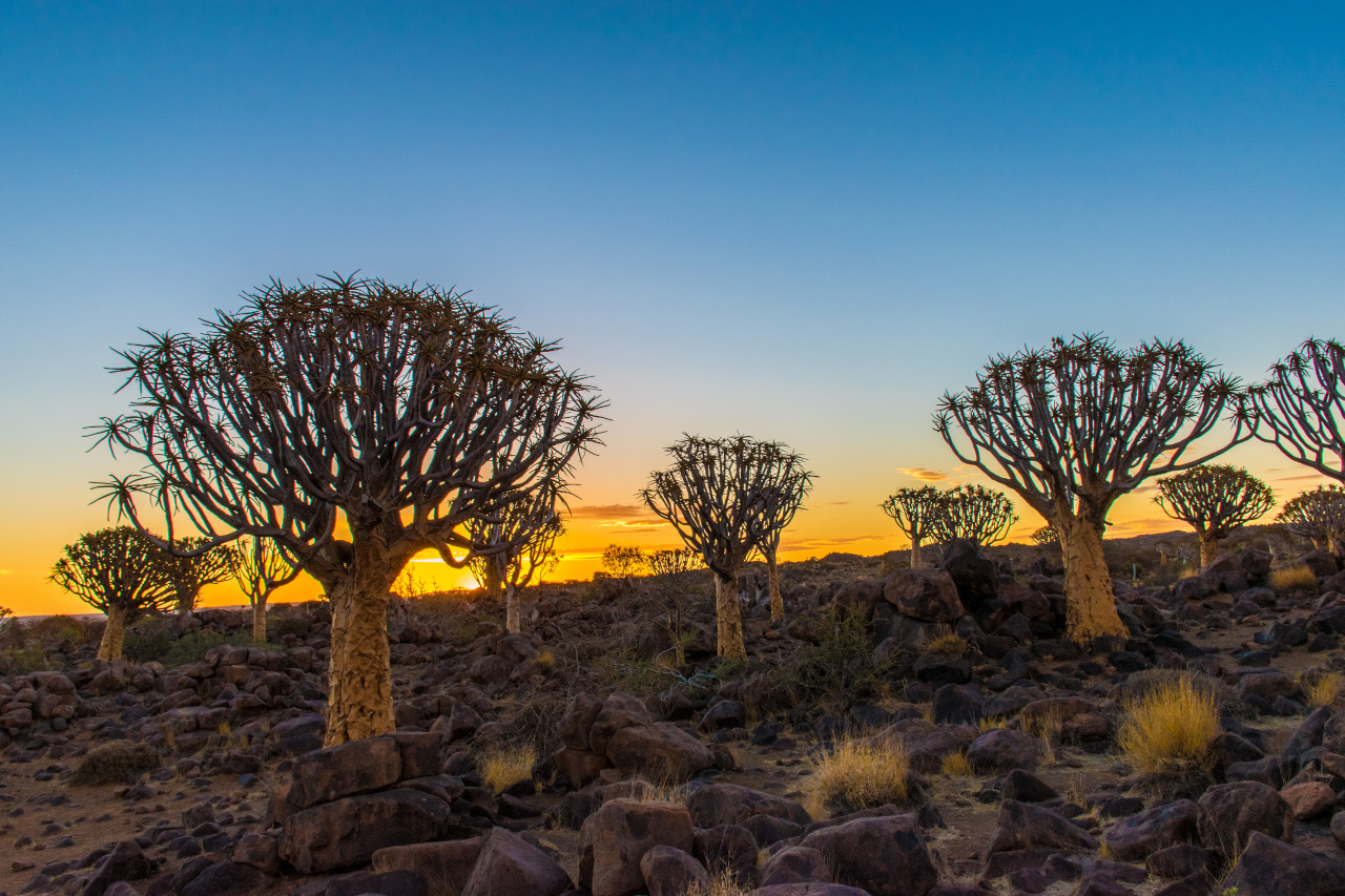 Quiver Tree Forest at sunset, Namibia. Discover the best things to do in Namibia and the best places to go in Namibia from this article. Read it now.